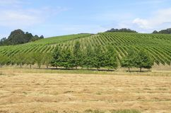Wijngaarden in Oregons-Wijnland Royalty-vrije Stock Foto
