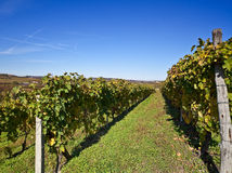 Wijngaarden in Piemonte, Italië Royalty-vrije Stock Foto's