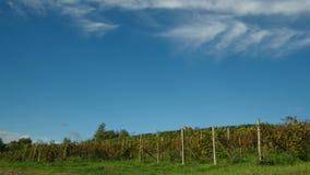 Wijngaarden, Piemonte, Italië stock videobeelden