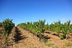 Wijngaarden in Portugal Stock Afbeeldingen