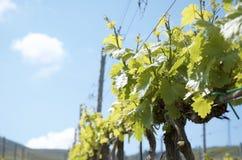 Wijngaarden in Sicilië Stock Foto