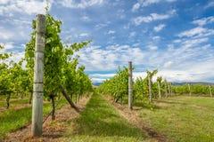 Wijngaarden in Tasmanige stock afbeeldingen