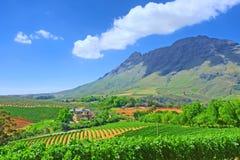 Wijngaarden tegen ontzagwekkende bergen Royalty-vrije Stock Afbeeldingen