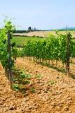 Wijngaarden in Toscanië stock foto