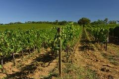Wijngaarden, Toscanië, Italië Royalty-vrije Stock Fotografie