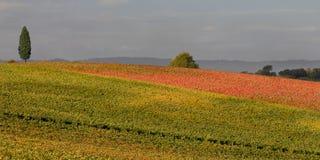 Wijngaarden in Toscanië, Italië Stock Foto