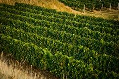 Wijngaarden in V augustus stock fotografie