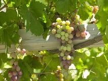 Wijngaarden - Vallei Colchagua - Chili Royalty-vrije Stock Fotografie