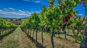 Wijngaarden van binnenuit, Montefalco - Umbrië - Italië Stock Fotografie