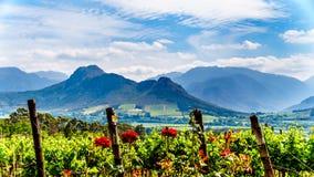 Wijngaarden van de Kaap Winelands in de Franschhoek-Vallei in de Westelijke Kaap van Zuid-Afrika royalty-vrije stock fotografie