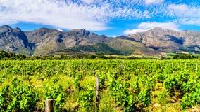 Wijngaarden van de Kaap Winelands in de Franschhoek-Vallei in de Westelijke Kaap van Zuid-Afrika, in het midden van het omringen  royalty-vrije stock foto's