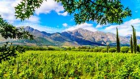 Wijngaarden van de Kaap Winelands in de Franschhoek-Vallei in de Westelijke Kaap van Zuid-Afrika, in het midden van het omringen  royalty-vrije stock foto