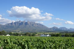Wijngaarden van de Westelijke Kaap royalty-vrije stock afbeeldingen