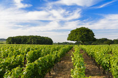 Wijngaarden van Frontenas-dorp, Beaujolais, Frankrijk Royalty-vrije Stock Fotografie