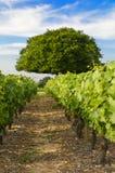 Wijngaarden van Frontenas-dorp, Beaujolais, Frankrijk Stock Foto