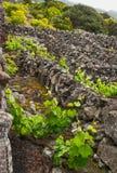 Wijngaarden van het eiland Pico Stock Fotografie