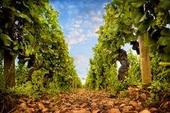 wijngaarden van Kooi DE Beaune, Bourgondië, Frankrijk royalty-vrije stock afbeeldingen