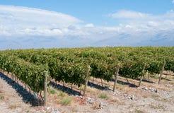 Wijngaarden van Mendoza, Argentinië stock foto's