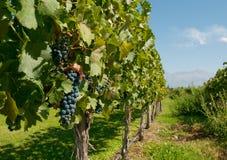 Wijngaarden van Mendoza, Argentinië royalty-vrije stock foto's