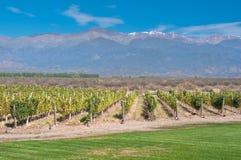 Wijngaarden van Mendoza, Argentinië stock afbeelding