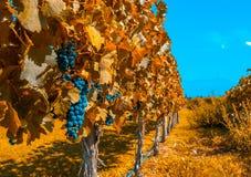 Wijngaarden van Mendoza, Argentinië stock foto