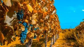 Wijngaarden van Mendoza in de herfstkleuren, Argentinië stock foto
