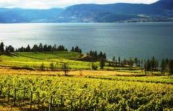 Wijngaarden van Okanagan stock foto