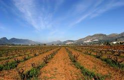 Wijngaarden van Spanje in vroeg seizoen. Wijnstokken die aan de kern worden gesneden. Zonnige blauwe hemelen en convergerende lijn royalty-vrije stock afbeelding