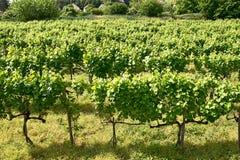 wijngaarden van Tokaj, Hongarije Royalty-vrije Stock Foto