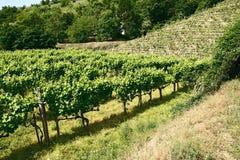 wijngaarden van Tokaj, Hongarije Stock Fotografie