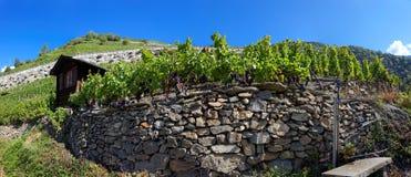 Wijngaarden in Visperterminen, Zwitserland - hoogste wijngaarden in Europa Stock Foto