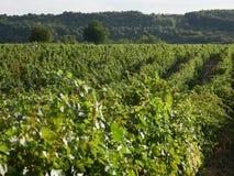 Wijngaarden in Vrancea, dichtbij Focsani, Roemenië stock fotografie