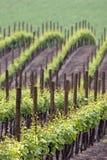 Wijngaarden wawes in de lente Stock Foto