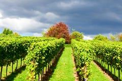 Wijngaardenpanorama weinstadt Royalty-vrije Stock Fotografie
