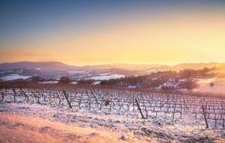 Wijngaardenrijen door sneeuw in de winter bij zonsondergang worden behandeld die Chianti, Sie stock afbeeldingen