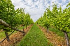 Wijngaardgebied Stock Fotografie