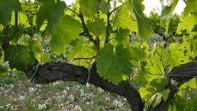 Wijngaardgebieden bij de Close-up van de Zonsondergangwijnstok stock video