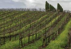 Wijngaardheuvel met rijen van wijnstokken en bomen op de bovenkant stock fotografie