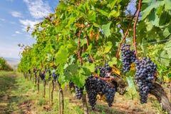 Wijngaardhoogtepunt van rijpe druiven in Toscanië Stock Foto