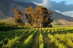 Wijngaardlandschap Stock Afbeelding