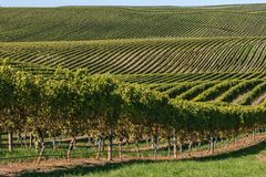 Wijngaardlandschap met rijen van wijnstok het groeien op rollende heuvels Stock Fotografie