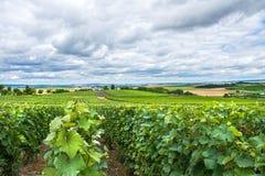 Wijngaardlandschap, Montagne de Reims, Frankrijk Stock Fotografie