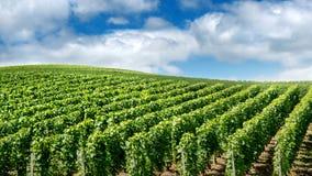 Wijngaardlandschap, Montagne de Reims, Frankrijk Royalty-vrije Stock Afbeeldingen