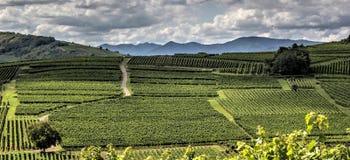 Wijngaardpanorama Stock Afbeelding