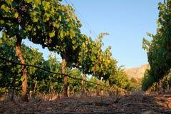 Wijngaardrij die tot bergen leiden royalty-vrije stock afbeeldingen