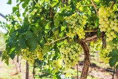 Wijngaardrij met bossen van rijpe witte wijndruiven Stock Foto's