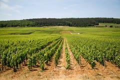 Wijngaardrijen dichtbij Beaune, Frankrijk Royalty-vrije Stock Afbeelding