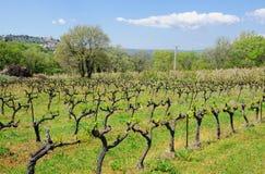 Wijngaardspruiten Royalty-vrije Stock Afbeeldingen