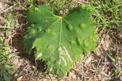 Wijngaardziekte Stock Fotografie