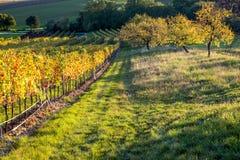 Wijngaardzonsondergang Stock Foto's